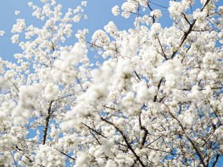 De lente in huis met kersenbloesem takken