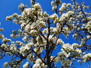 Fotoshoots in de kersenboomgaard